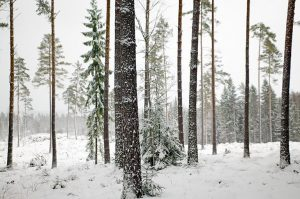 Researchers test common garden practice on lodgepole pine forests